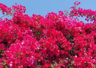 Bourganvillea flowers   Bawa Pools inspiration